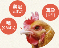 鶏冠(とさか) 耳朶(じだ) 嘴(くちばし)
